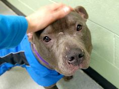 URGENT - Manhattan Center    BLUE - A0989375   MALE, GRAY / WHITE, PIT BULL MIX, 3 yrs  STRAY - STRAY WAIT, NO HOLD Reason STRAY   Intake condition NONE Intake Date 01/12/2014, From NY 10453, DueOut Date 01/15/2014 Main thread: https://www.facebook.com/photo.php?fbid=741271925885689&set=a.617938651552351.1073741868.152876678058553&type=3&permPage=1