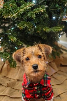 Warm and Cosy Tartan Christmas Christmas Puppy, Christmas Animals, Tartan Christmas, Christmas Colors, Christmas Dachshund, Merry Christmas, Cute Puppies, Cute Dogs, Dogs And Puppies