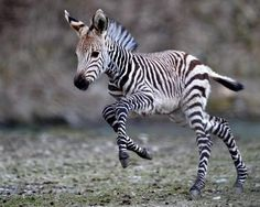 Baby Zebra running and playing around. Too cute! 20 Animals You Never See As Babies Cute Little Animals, Cute Funny Animals, Zebras, Nature Animals, Animals And Pets, Farm Animals, Animals Kissing, Rainforest Animals, Kids Animals