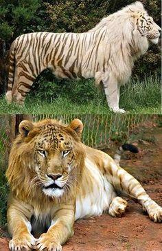 wild cats tigon male tiger lion I looked it up they are real Big Animals, Animals Of The World, Cute Funny Animals, Cute Baby Animals, Animals And Pets, Unusual Animals, Majestic Animals, Strange Animals, Very Rare Animals