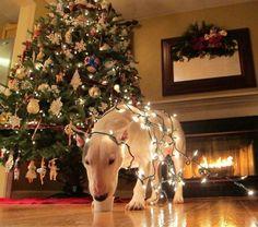 Christmas cheer. #Bull #Terrier