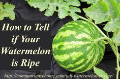 How to Tell if a Watermelon is Ripe - 4 clues to look for to tell if your garden or store watermelon is red, ripe, and ready to pick. Struggling bad with this one -kp Fruit Garden, Edible Garden, Garden Plants, Potted Garden, Outdoor Plants, Outdoor Spaces, When To Pick Watermelon, Picking Watermelon, Watermelon Plant