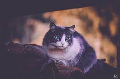 SIESTA - gra gato sobre el tejado  de la casa de doña orfa en floresta boyaca colombia
