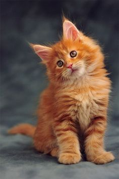 How do you know if a kitten is a Maine Coon? - Cats - cats - katzen - How do you know if a kitten is a Maine Coon? Cats cats How do you know - Cute Cats And Kittens, Baby Cats, Kittens Cutest, Funny Kittens, Pretty Cats, Beautiful Cats, Beautiful Pictures, Maine Coon Kittens, Ragdoll Kittens
