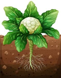 Potatoes plant under the ground Royalty Free Vector Image Garden Trees, Trees To Plant, Easy Crafts For Kids, Diy For Kids, Free Vector Images, Vector Free, Kreative Jobs, Fruit Crafts, Fruit Picture