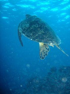 Green Turtle, Watamu Marine National Park and Reserve, Kenya