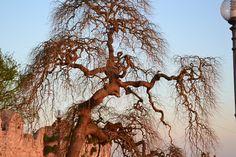 Sunset tree - Castiglione del Lago, Perugia, Italy - 2011 By Shred69