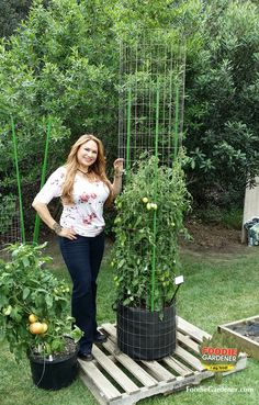 "Shirley Bovshow, Foodie Gardener's extra tall ""Tomato Tower"" made with galvanized metal fencing and plastic landscape poles. Approx 10-15 dollars. As seen on Home & Family show!"