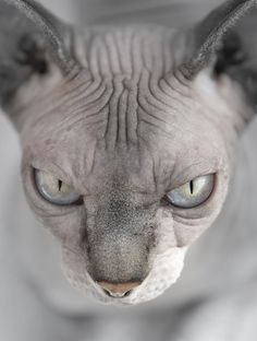 Coolest cat ever! #sphinx  Thanks to all our customers please do not forget to visit our website!  http://petsuppliesalive.com