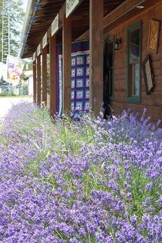A cabin surrounded by lavender