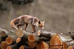 animal, beautiful, dream, forest, fox