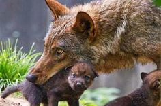 Il lupo è sempre un lupo 🐺. Ma ama con dolcezza i suoi cuccioli. ♥️