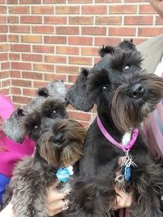 These two mini schnauzers are just adorable, can't help but fall in love with them❤️