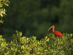 Scarlet Ibis Roosting in a Mangrove Tree
