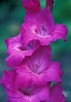 Gladiolus – A wonderful Summer Flower Amazing Flowers, My Flower, Colorful Flowers, Beautiful Flowers, Gladiolus Flower, Flowers Nature, Flower Pictures, Summer Flowers, Planting Flowers