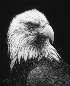 Jenna Hestekin, Bald Eagle, scratchboard, 10 x - Southwest Art Magazine Animal Sketches, Animal Drawings, Art Drawings, Drawing Sketches, Eagle Sketch, Bald Eagle Tattoos, Eagle Drawing, Charcoal Art, White Charcoal