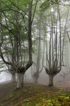 Park Natural Area Gorbeia, Orozko, Spain ( odd shaped trees ! )