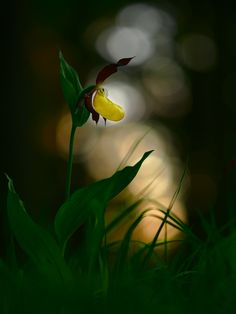 cypripedium calceolus by Stephan Amm on 500px