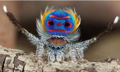 Maratus volans, better known as the Peacock Spider, is the dandiest, the cutest little thing you'll see today. The male of this species has two rounded, most brilliantly colored skin-like flaps on either side of his abdomen that are folded down close against the sides of the body, like a shawl. The brilliant colouring is not just for decoration, he uses it when he courts his mate.