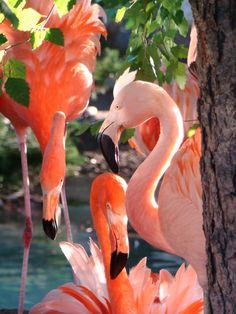 Amazing wildlife - Pink Flamingos photo #flamingos Como Zoo  St Paul, MN