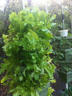 Great idea for growing lettuce .