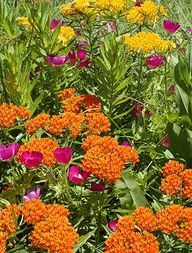 Plant a butterfly garden. Butterflies are dying out - Monarchs by in the last 20 years. Do what you can - PLANT A BUTTERFLY GARDEN - Plants that attract butterflies: Butterfly Garden Plants, Plants That Attract Butterflies, Butterfly Weed, Butterfly House, Planting Flowers, Pink Butterfly, Monarch Butterfly, Beautiful Gardens, Beautiful Flowers