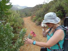 Proteas in the Dutoitskloof mountains