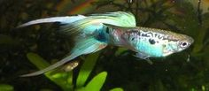 10 FRY Emerald Vienna Double Sword tropical fish guppy