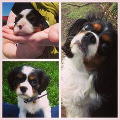 Look at that face! King Charles Spaniel, Cavalier King Charles, Dog Show, Spaniels, Pet Stuff, Cocker Spaniel, Buttercup, Buckets, Puppy Love