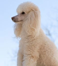 Happy, lively, and playful, Poodles make an excellent family dog for those prepared to maintain the coat. They may possibly be the most intelligent breed of dog and are willing to please, making them very easy to train. They're friendly, outgoing, and loving. Watch an AKC Breed Video about Poodles at dog.com
