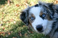 Finn MacCool. Blue Merle mini Australian shepherd.