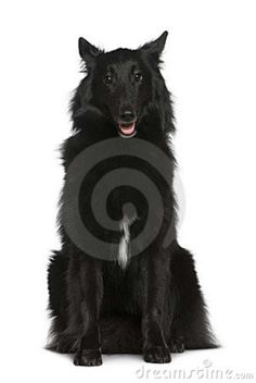 Groenendael Shepherd Dog | Cute Dogs Pet: Belgian Shepherd Groenendael Dog