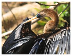 Anhinga in Costa Rica. Jerry Goffe