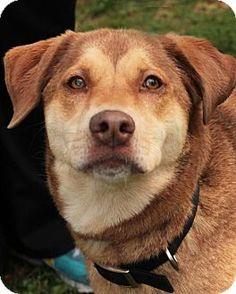Media, PA - Labrador Retriever/Hound (Unknown Type) Mix. Meet Bonnie, a dog for adoption. http://www.adoptapet.com/pet/16947060-media-pennsylvania-labrador-retriever-mix