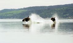 NEW SPECIES of orcas proposed: Fascinating article on the elusive offshore orca