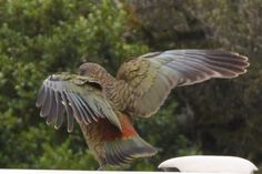 I am fascinated by the kea -- the world's only mountain parrots -- and have photographed them often all over South Island.  Beautiful, cheeky, totally unafraid of humans, these birds will dismantle a backpack (or the rubber stripping around car windows) and can be quite aggressive about stealing food if you leave it anywhere they can reach.