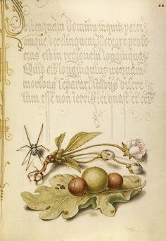 Sweet Cherry Flower, and English Oak Leaf with Galls, Joris Hoefnagel illuminator, Mira calligraphiae monumenta 86.MV.527