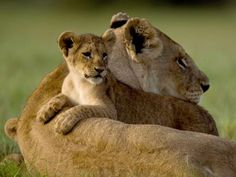 National Geographic's Big Cats Initiative: because the habitats of the most majestic animals on Earth shrink every day.