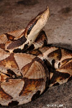 Deinagkistrodon acutus--Chinese Sharp-nosed Viper