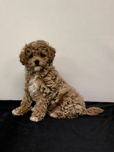 Dogs for adoption Cute Dogs And Puppies, Doggies, Funny Animal Pictures, Funny Animals, Puppy Palace, Adorable Dogs, Maltese, Poodle, Dog Love