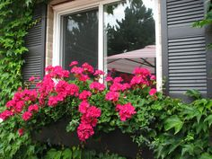 Create a cost saving window box with geraniums brought indoors during the winter.