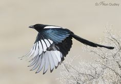 http://www.featheredphotography.com/blog/wp-content/uploads/2014/03/black-billed-magpie-5169-ron-dudley.jpg