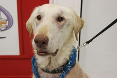 2/2016♥12/06/15-Meet Nunuk, an adoptable Yellow Labrador Retriever looking for a forever home. If you're looking for a new pet to adopt or want information on how to get involved with adoptable pets, Petfinder.com is a great resource.
