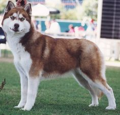 alaskan malamute | Alaskan Malamute photo and wallpaper. Beautiful Red Alaskan Malamute ...