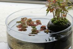 Water Terrarium, Succulent Terrarium, Ikea Terrarium, Terrarium Ideas, Little Gardens, Small Gardens, Micro Garden, Aquarium Landscape, Moss Plant