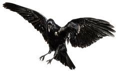 raven bird flying png - Buscar con Google