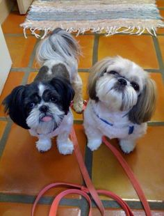 One of my fave Shih Tzu pics ever!
