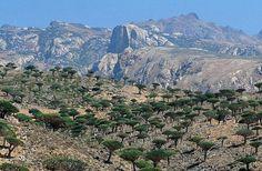 Socotra, Dracaena Cinnabari, Dragon Blood Tree, Marine Reserves, Desert Life, Places Of Interest, Nature Reserve, T Rex, Alice In Wonderland