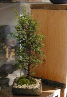 八房ヒノキ盆栽