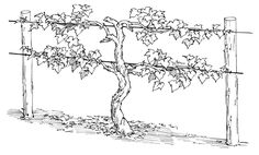 Backyard grape trellis can you grow grapes in a container,do grape vines have flowers grape farm in kerala,grape plant grape vineyard. Fruit Coloring Pages, Tree Coloring Page, Plant Sketches, Tree Sketches, Grape Vine Trellis, Grape Vines, Wire Trellis, Climber Plants, Vine And Branches